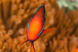 BD-140324-Apo-3631-Amphiprion-frenatus.-Brevoort.-1856-[Tomato-clownfish].jpg